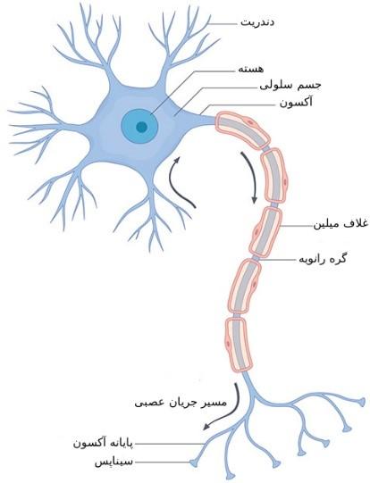 سلول عصبی چیست