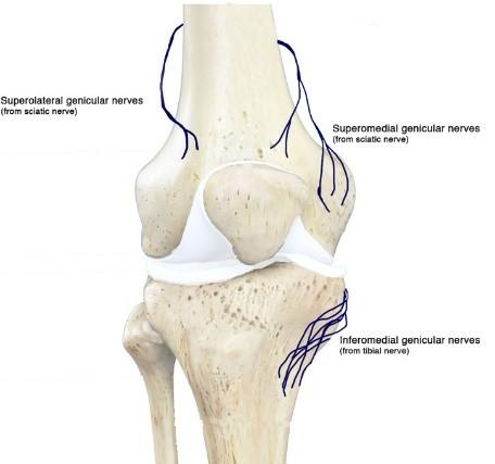 آناتومی عصب های اطراف زانو